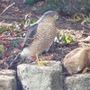 Small_thumb_b808947be50a01f49e76_sharp-shinned_hawk