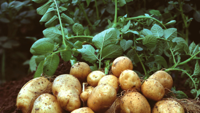 Top_story_059c93d3f13183ea3c26_potatoes_