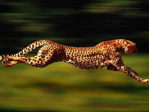 Top_story_05b444ced7279548150d_cheetah