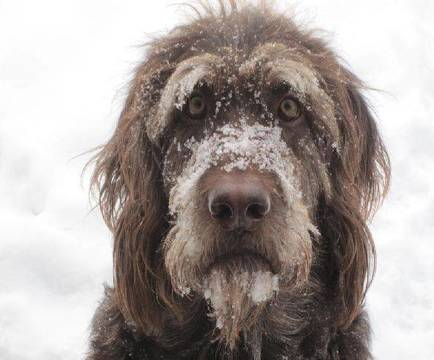 Top_story_0a26a04309d2396fa13e_dog_in_snow
