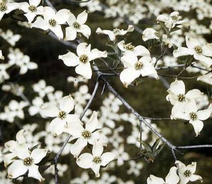 Top_story_2897f6fefc1bbcdf9942_arbor_day_flowering_dogwood__credit_usda_