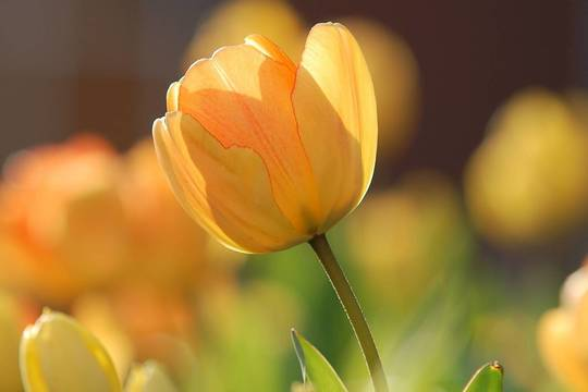 Top_story_424ffe5592d277fe2702_571676f8e00aac66620e_tulip-690320