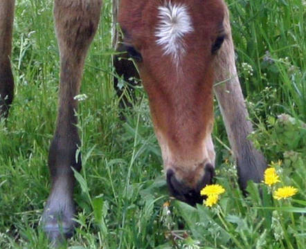 Top_story_5016a6589f524be845a7_foal_with_dandelions