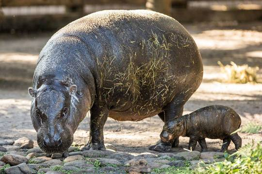 Top_story_540bf088f65fa54c6d6c_pygmy_hippo_baby_hires_34_preview