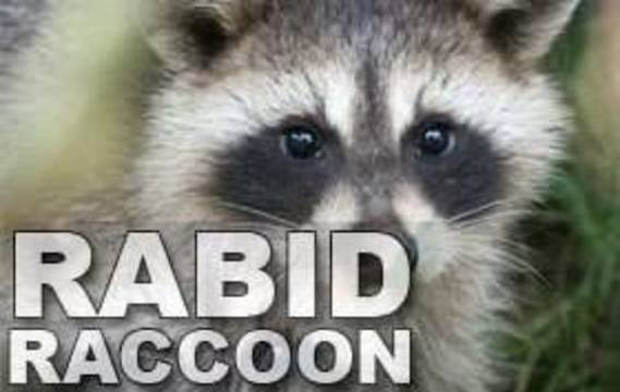 Top_story_55d6cc73a3e6ee35b8e7_rabid_raccoon