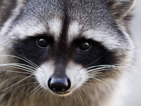 Top_story_56f7dd008a0e4392b56a_how-to-keep-raccoons-away