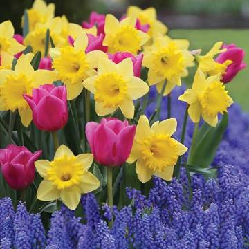 Top_story_585105e17b1041c49dfc_dutch_master_daffodil-involve_tulip-grape_hyacinth_m__1_