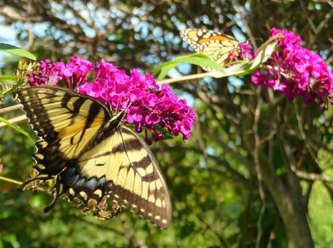 Top_story_5af8a5fb3bf13c64ec71_swallowtail.monarch2012