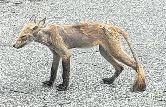 Westfield Community Members Hope To Help Sick Wild Fox
