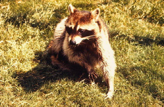 Top story 73b780a0d8a248aa150d raccoon