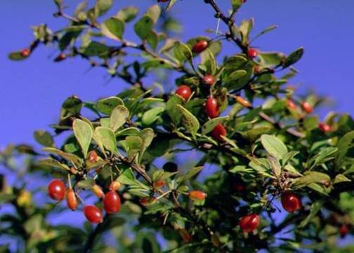 Top_story_b386a90026a4e42f9902_japanese_barberry