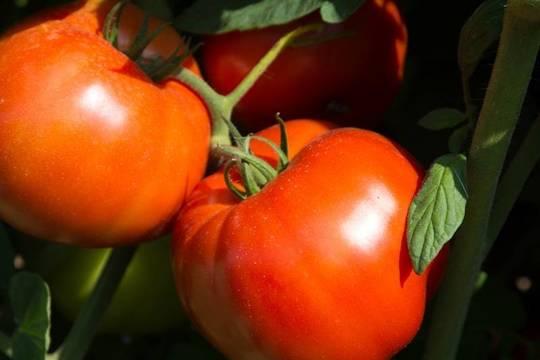 Top_story_bcffce165d7d3f42b38d_rutgers_250_tomato