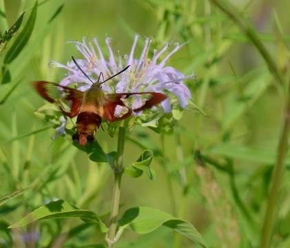 Top story d44c1de12728a619f34f hummingbird moth