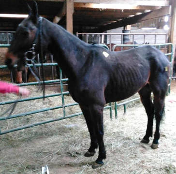 Top_story_e65c44b3e93bea4bd351_standardbred_in_kill_pen
