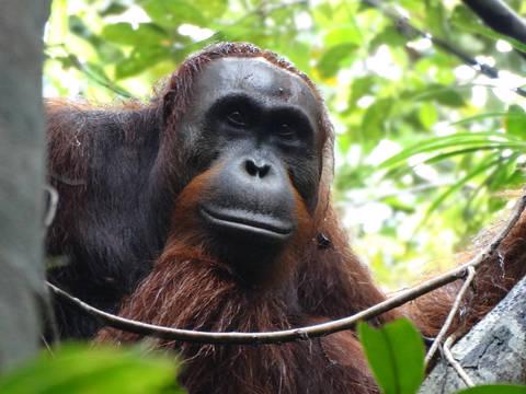 Top_story_eb8f1ea4507780b88145_orangutanjerry