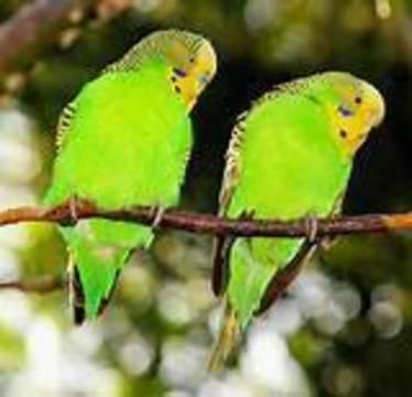 Top_story_edd4c2f4bca6208cbe96_budgerigar_birds