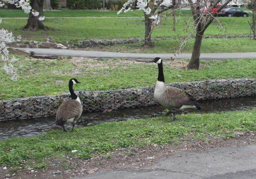 Top_story_f3d79e7b0097020cce0d_canada_geese_april_2018