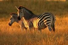 c56084777cc7c90ce152_zebras_ts2.jpg