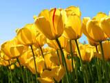 Thumb d2d49b8f4adef06729b7 tulips